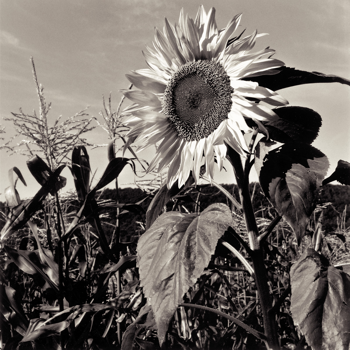 naturescapes-sunflower